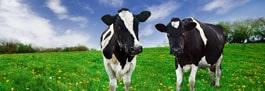 Productie de lapte